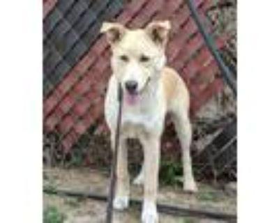 Adopt Lilly a Shepherd, Labrador Retriever