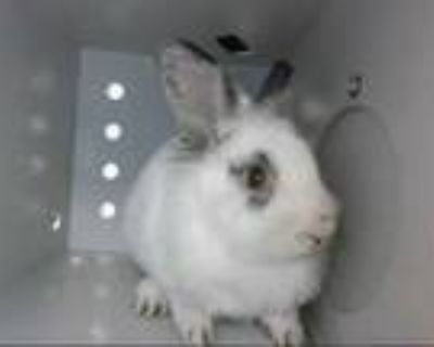 Adopt MOZART a White Other/Unknown / Mixed rabbit in Albuquerque, NM (30935880)