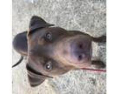 Adopt Tobias a Labrador Retriever