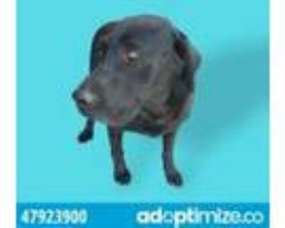 Adopt 47923900 a White Labrador Retriever / Terrier (Unknown Type