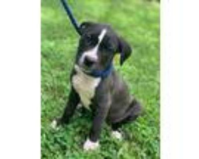 Jasmine, American Pit Bull Terrier For Adoption In Newark, Delaware