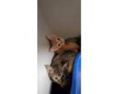 Adopt Berry a Orange or Red Domestic Shorthair / Domestic Shorthair / Mixed cat