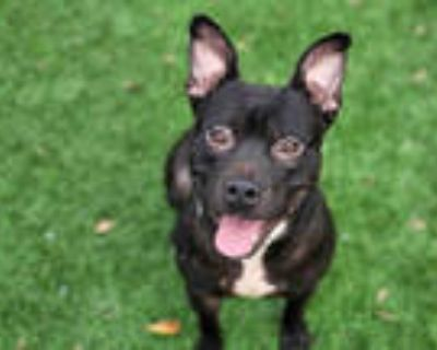 Adopt NICO a Black - with White American Pit Bull Terrier / Mixed dog in
