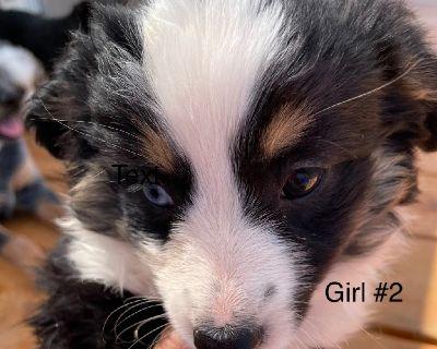 Miniature Australian Shepard Puppies