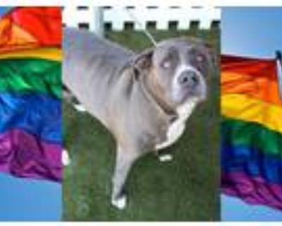 Adopt REY a Gray/Silver/Salt & Pepper - with White American Staffordshire