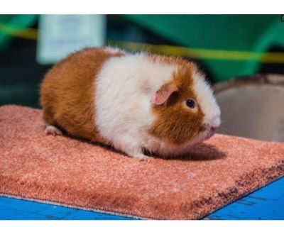 Looking for a Teddy Guinea Pig