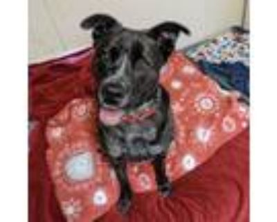 Adopt Daffodil a Black Shepherd (Unknown Type) / Mixed dog in Indianapolis
