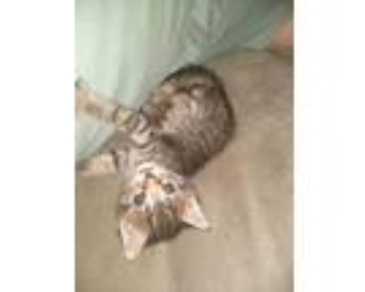 Adopt Peter Cottontail a Domestic Short Hair