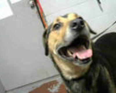 Adopt HENDRIX a Brown/Chocolate - with Black Labrador Retriever / Rottweiler /