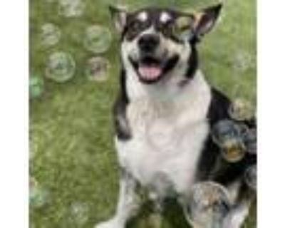 Adopt Lance a Black Husky / Mixed dog in Merriam, KS (31645686)
