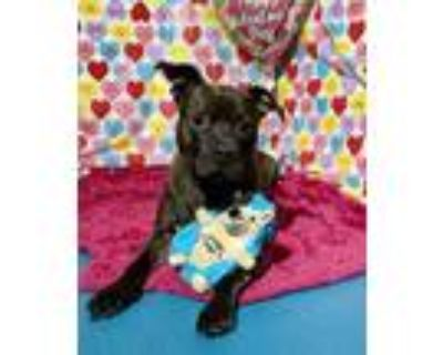 Adopt Coop a Pit Bull Terrier