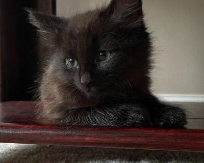Quasar - Domestic Shorthair - Kitten Male