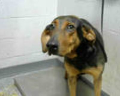 Adopt BETHANY a Black - with Brown, Red, Golden, Orange or Chestnut Bloodhound /
