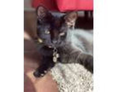 Adopt Baby a All Black American Shorthair / Mixed cat in Roanoke, TX (31646392)