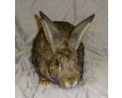 Adopt Sandy a Agouti Other/Unknown rabbit in Woburn, MA (32132298)