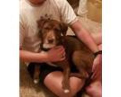 Adopt Brownie a Brown/Chocolate Terrier (Unknown Type, Small) / Retriever