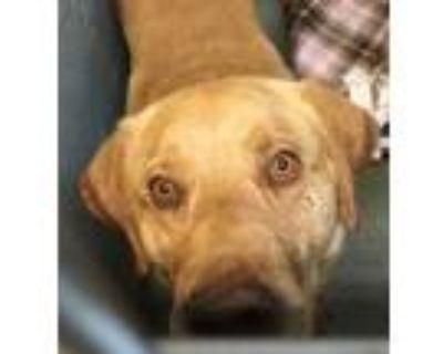 Adopt 47963312 a Tan/Yellow/Fawn Labrador Retriever / Mixed dog in Los Lunas