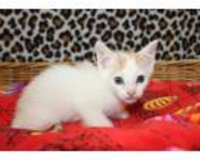 Adopt a White (Mostly) Domestic Shorthair / Mixed (short coat) cat in Modesto