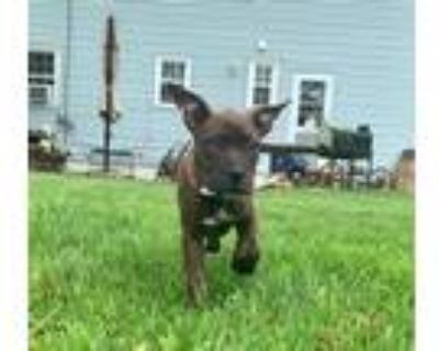 Adopt Chili a Brindle Boxer / Pit Bull Terrier dog in Amherst, NY (31521815)