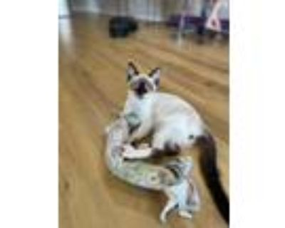 Adopt Henry a Cream or Ivory (Mostly) Siamese (short coat) cat in Marietta