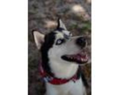 Adopt Simba a Black - with White Siberian Husky / Mixed dog in Winter Springs
