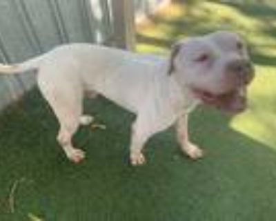 Adopt ALBAN a White American Pit Bull Terrier / Mixed dog in Lancaster