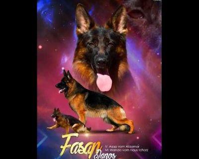 WORLD GrandChampions Highest Pedigree German Shepherd Dog Puppies