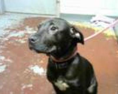 Adopt THUNDER a Labrador Retriever