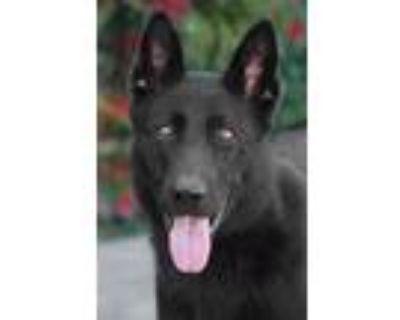 Adopt Opal von Olsen a Black German Shepherd Dog / Mixed dog in Los Angeles