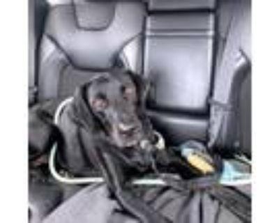 Adopt Nakia a Black Labrador Retriever