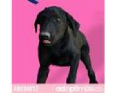 Adopt 48034812 a Tan/Yellow/Fawn Labrador Retriever / Mixed dog in El Paso