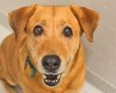 Adopt MILA a Labrador Retriever, Mixed Breed