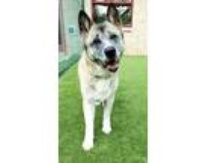 Adopt Japan a Tan/Yellow/Fawn Akita / Mixed dog in Independence, MO (32013527)