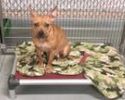 Adopt BAMBI a Brown/Chocolate - with White American Pit Bull Terrier / Boston