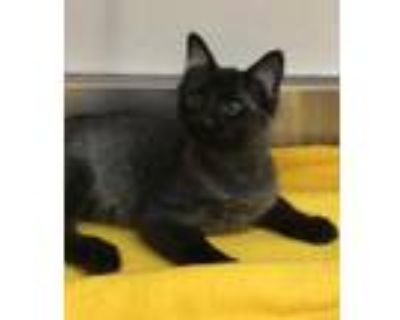 Adopt 655031 a All Black Domestic Shorthair / Domestic Shorthair / Mixed cat in