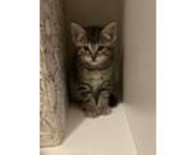 Adopt No name yet a Spotted Tabby/Leopard Spotted American Shorthair / Mixed
