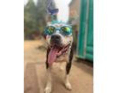 Adopt Gabbie a American Staffordshire Terrier, Staffordshire Bull Terrier