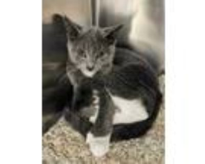 Adopt Violet Simpleton a Gray or Blue Domestic Shorthair / Domestic Shorthair /