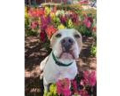 Willow, American Pit Bull Terrier For Adoption In Newport News, Virginia