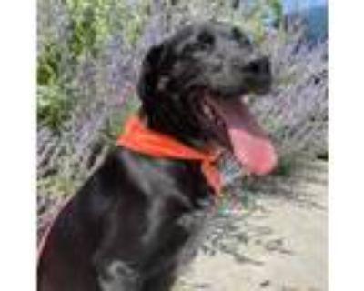 Adopt Tucker a Black Labrador Retriever