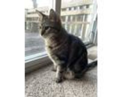 Adopt Buster a Brown Tabby American Shorthair / Mixed (short coat) cat in