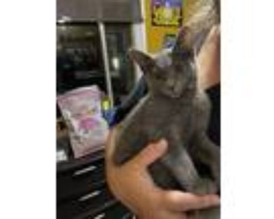 Adopt Parker a Gray or Blue Russian Blue (short coat) cat in Westland