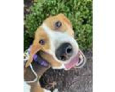 Adopt Diablo Sauce a Brown/Chocolate Hound (Unknown Type) / Mixed dog in Newport
