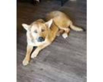 Adopt Alexis a Australian Cattle Dog / Blue Heeler