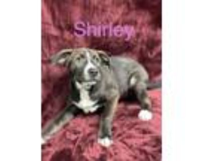 Adopt Shirley a Pit Bull Terrier, Mixed Breed