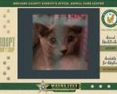 Adopt Allison a Domestic Shorthair / Mixed cat in Melbourne, FL (32057638)