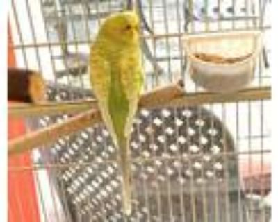 Adopt ANGEL a Yellow Parakeet - Other / Mixed bird in Boston, MA (31191143)