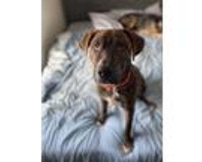 Adopt Bruno a Brindle - with White Mastiff / Mixed dog in Oklahoma City