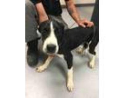 Adopt 48230981 a Black Labrador Retriever / Mixed dog in Los Lunas