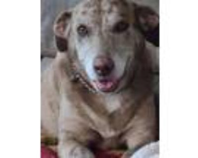 Adopt Journey a Brown/Chocolate Catahoula Leopard Dog / Mixed dog in Winston